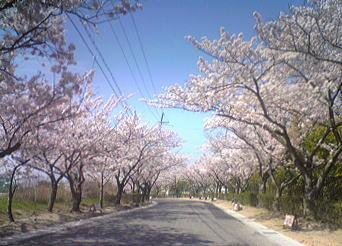 2009年桜の季節IN明石